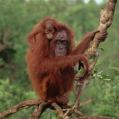 Orangutan Is Beaten to Death by Villagers in Indonesia