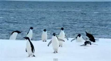 Our Wiki World: Can The Penguins Fly?