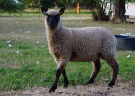 Clun Forest sheep, rams, ewes, lambs, grassfed - Three